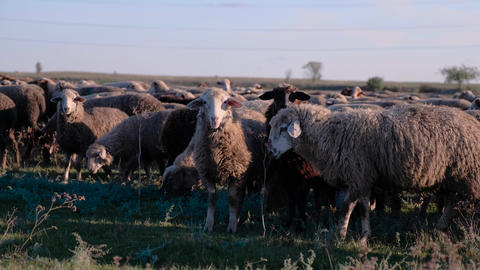 A flock of sheep in the late autumn. Sheep graze in the pasture. Flock of sheep Footage