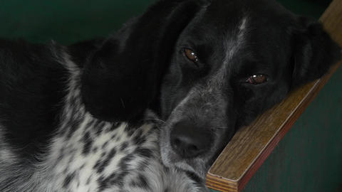 The spotted dog looks at you with a scornful look and falls asleep lying in his Live Action