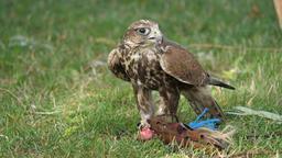 Saker falcon. Falco cherrug. Bird of prey Live Action