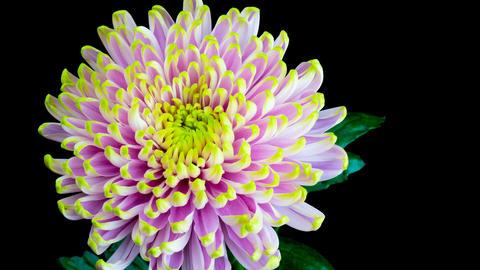 Flowering of chrysanthemum Footage