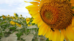 Closeup bee on a sunflower. (Slow motion) Footage