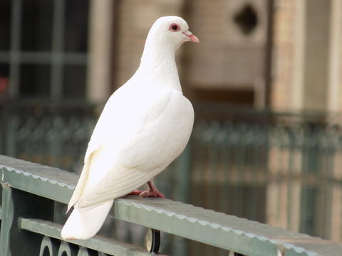 白い鳩 White dove pigeon フォト