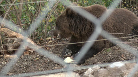 European Brown Bear Archivo