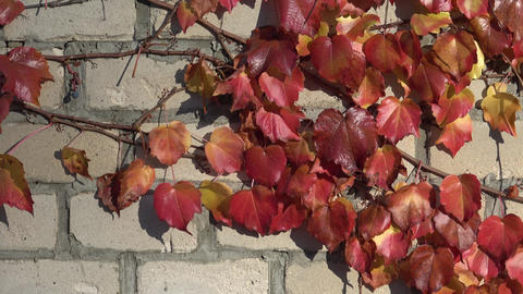 Parthenocissus tricuspidata on a ancient brick wall Live Action