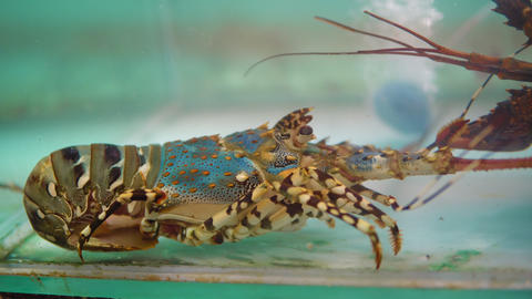Spiny lobster in the fish tank for sale, fresh seafood at market place Live Action
