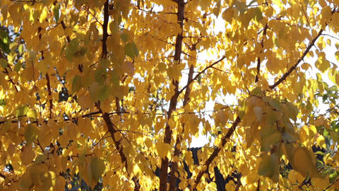 Rays of the sun through the yellow autumn leaves of apricot. The beauty of Footage