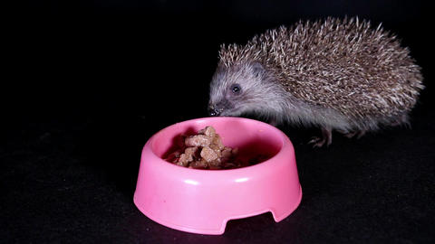 Wild european hedgehog eating cat food Live Action