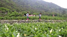 Lilies Growing At Calla Lily Plantation Yangmingshan Taiwan stock footage