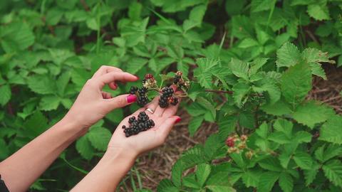Large ripe blackberries Footage