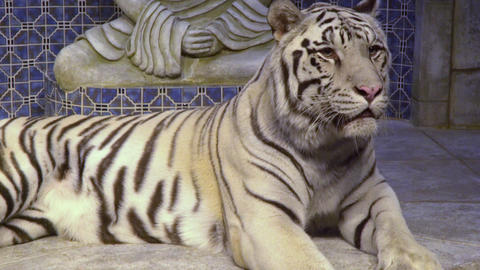 White tiger inside a temple 4k Footage