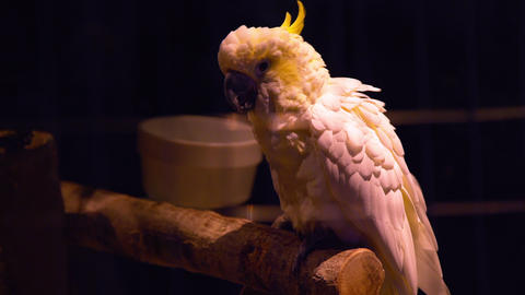 Beautiful Cockatiel Sitting On A Perch 4k stock footage