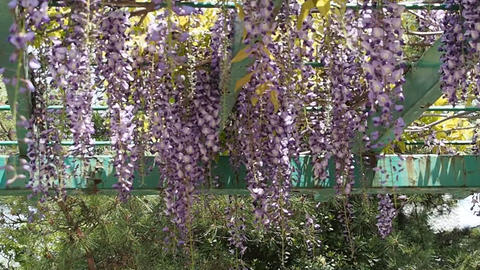 Japanese wisteria and the bee in the park Chiba, April 30, 2016 Footage