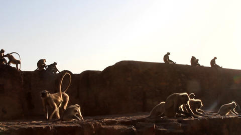 flock of monkeys (langurs) actively feeds on scattered nuts Live Action