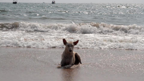 Funny Indian stray dog from Goa swimming in the Arabian sea Footage