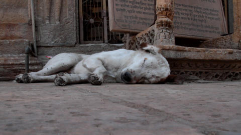 Indian White stray dog can not rest because of the abundance of flies Footage