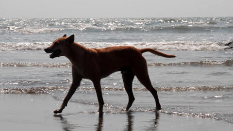 Red-haired stray dog walking along picturesque Malabar shore Footage