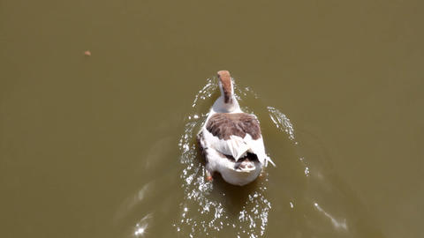 Asian domestic goose breed swims in murky pond Footage