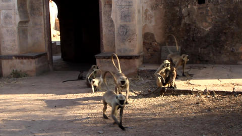 pack of langurs in the old Indian city Live Action