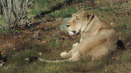 Asiatic lioness (Panthera leo persica). A critically endangered species Footage