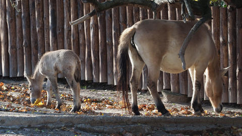 Mare with foal. Przewalski's horse also called the Mongolian wild horse or Footage