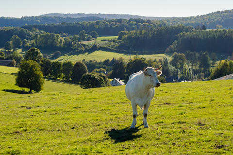 A white cow in the meadow in Gaume with sapphires and hilly fiel Fotografía