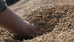 Handful of cereal grains of autumn grains harvest Live Action