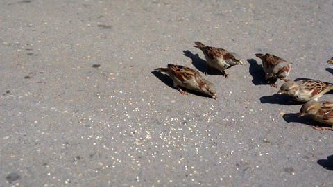 sparrows peck seeds Live Action