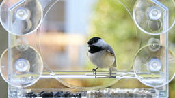 Slow motion of two chickadee birds flying in turns to bird feeder Footage
