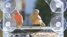 Slow motion of female, male house finch birds eating seeds on bird feeder Footage