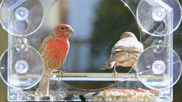Slow motion of pair of house finch birds eating seeds, flying away, bird feeder Footage