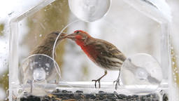 Slow motion of female, red male house finch birds eating seeds on bird feeder Footage