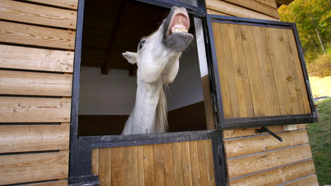 White Horse in stable showing teeth Live Action