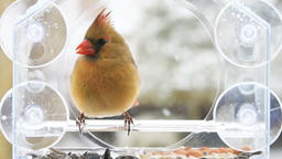 Slow motion of perched red female northern cardinal bird, feeder, snowing ビデオ