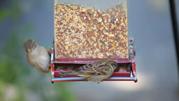 Slow motion of house sparrow birds perched on bird feeder fighting Footage