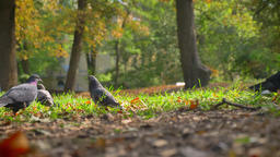 Shooting in Movement, Wild Doves Are Sitting On Grass, Fall Leaves And Warm Footage