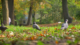 Shooting in Movement, Wild Doves Are Sitting On Grass,... Stock Video Footage