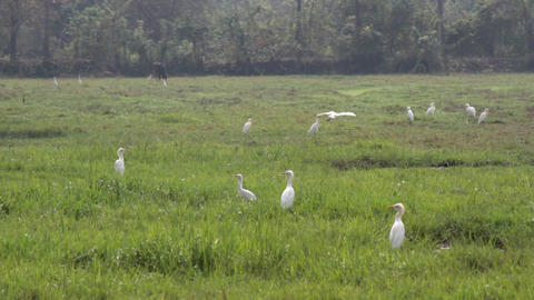 Cattle egrets in multitude gathered on drying up swamp Live Action
