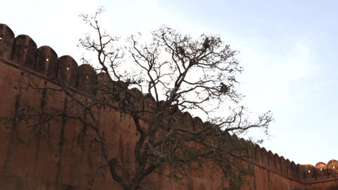 Langur monkeys feed on buds on high tree in front of fortress wall Live Action