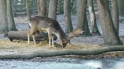 Fallow deer spotted in enclosure searches the falling autumn leaves and looks GIF