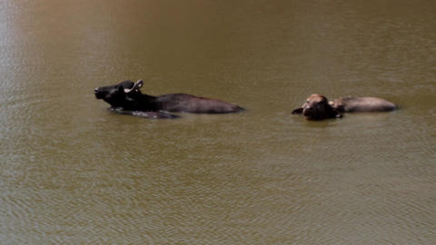 Buffalo enjoy in the water on a hot day Footage