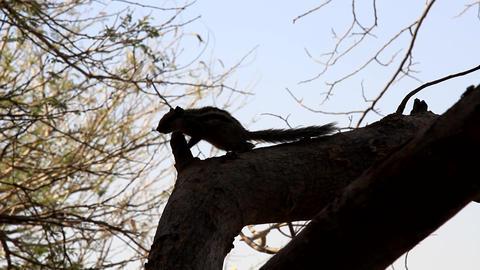 Indian palm squirrel (Funambulus palmarium) Live Action
