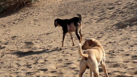 Sandy dog, a lean goat and a one-humped camel in the Thar desert Live Action