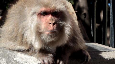 Portrait of rhesus macaques (Macaca mulatta) Live Action