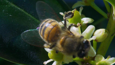 slow motion honey bee collecting pollen Footage