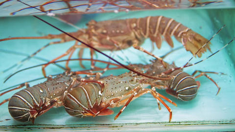 Close-up fresh spiny lobsters in clean water aquarium at seafood market Live Action
