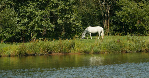 A single white horse grazing Footage