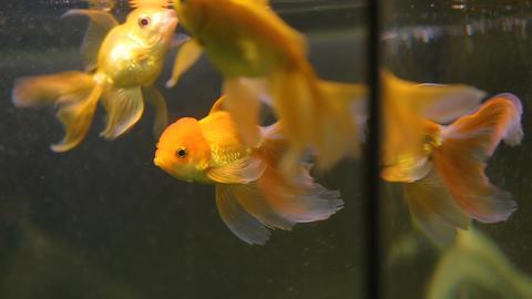 Gold fish swimming in aquarium of beauty salon, fish pilling service, fauna Live Action