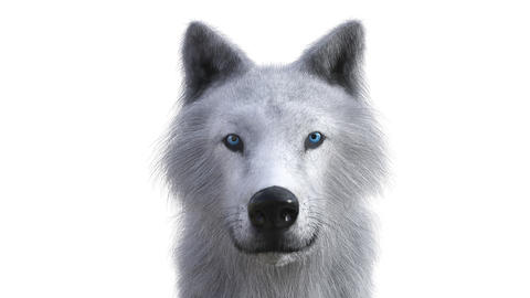 Digital 3D Animation of a Wolf Animation