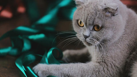 Adorable scottish fold grey cat playing with color ribbon, domestic pet love Footage