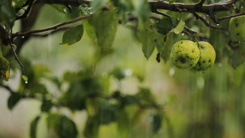Rain in countryside apple garden, fruits watering, fresh natural nutrition Live Action